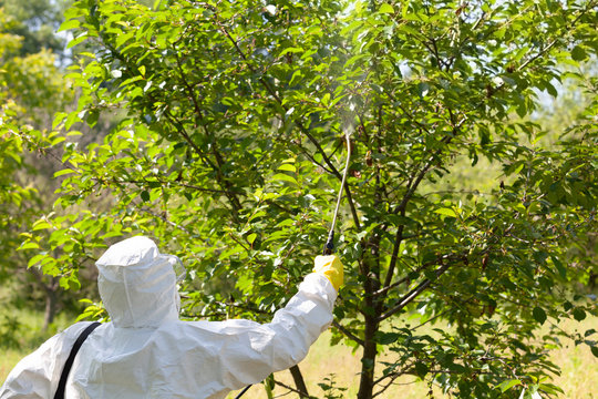 Spraying toxic pesticides in fruit orchard. Non-organic food concept.