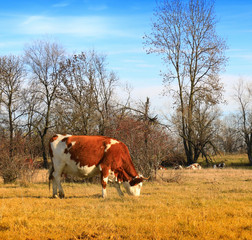 Fototapete - Cow on the farm field.