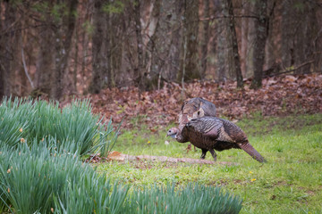 Two North American female Wild Turkeys in the rain feeding in the grass beside a patch of Easter Lillies. Female turkeys are called hens.