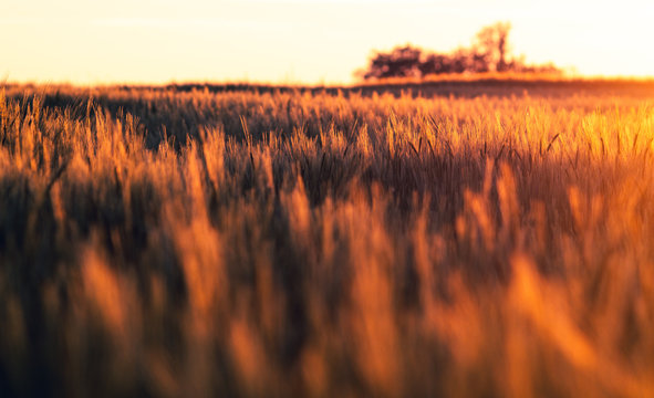 Getreide Feld bei Sonnenuntergang