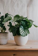 Fototapeta Lush green potted plant in a friendly home environment obraz