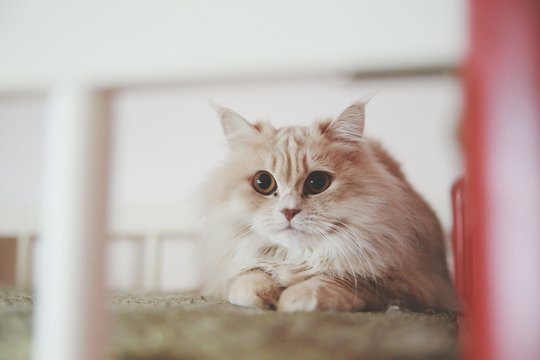 Portrait Of Turkish Angora Cat Relaxing On Bed At Home