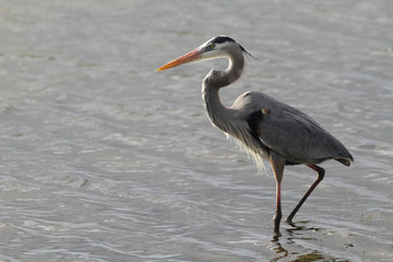A great blue heron at Playalinda Beach in Florida