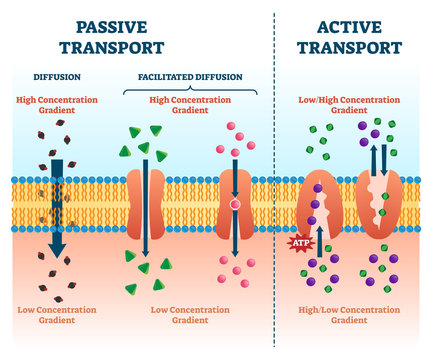 Active passive transport vector illustration. Labeled educational cell scheme