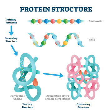 Protein structure vector illustration. Labeled amino acid chain molecules.