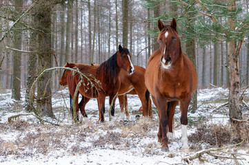 Canvas Prints Horses Horse in the Snow