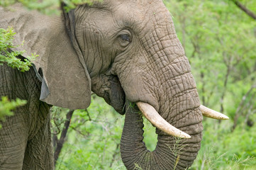 Foto op Plexiglas Olifant Male elephant with Ivory tusks eating brush in Umfolozi Game Reserve, South Africa, established in 1897