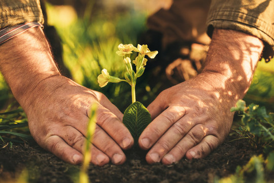 Sunny picture of man's hands touching soil or grass. Flower with yellow blossom growing from ground outside. Spring time.