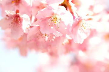 Poster Printemps 日本の河津桜