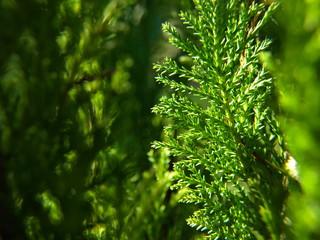 Fototapeta Działkowy krzew w świetle słońca  obraz