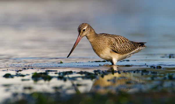 A Bar Tailed Godwit,  Limosa Lapponica, Looking For Food In The Shallows Along The Shore Line. Taken at Stanpit Marsh UK