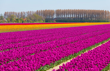 yellow tulips in front of big tulip field