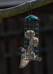 Sparrow feeding on fat balls