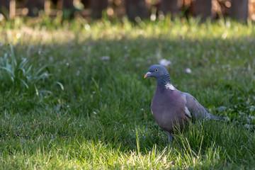 Common dove walks on a lawn
