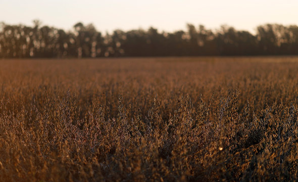Soy plants are seen at sunset on a farmland in Chivilcoy, on the outskirts of Buenos Aires