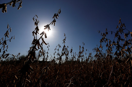 Soy plants are seen on a farmland in Chivilcoy, on the outskirts of Buenos Aires