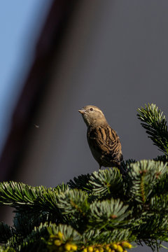 Sparrow attempts to hunt insect while perched on spruce tree