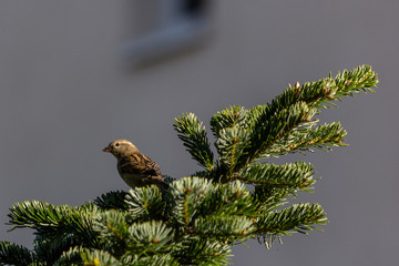 Female sparrow perched on a spruce tree in sunlight