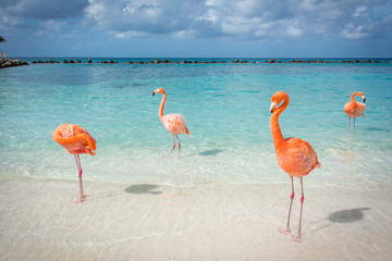 Aluminium Prints Flamingo Flamingos am Strand auf Aruba