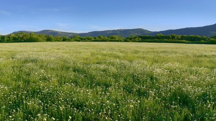 Wall Mural - Meadow of spring camomile flowers in mountain. Beautiful aerial nature landscape.