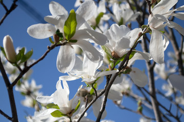 Canvas Print - white blooming magnolias on the blue sky
