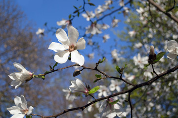 Sticker - white blooming magnolias on the blue sky