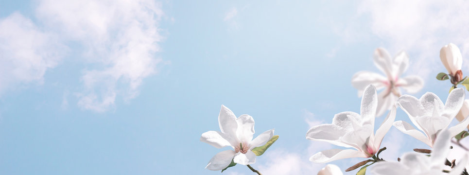 Delightful blooming white magnolia flowers against the clouds sky. Fantasy spring background.