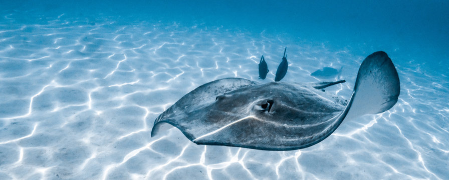 Stingray swimming in Moorea's lagoon