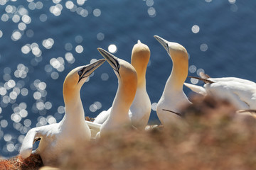 Morus bassanus - a colony of white gannets on the island of Helgoland, sitting on nests and shaking with long beaks about each other. In beautiful light and nice bokeh. Fototapete