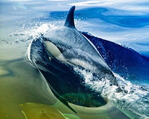 Side View Of A Dolphin Jumping In Water