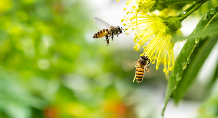 Obraz Flying honey bee collecting pollen at yellow flower. Bee flying over the yellow flower - fototapety do salonu