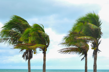 Palm tree at hurrican windstorm. Storng wind make palm leaf heavy blow follow wind direction Wall mural