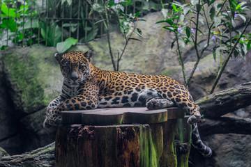 leopard, cat, animal, wildlife, wild, cheetah, predator, safari, mammal, feline, jaguar, nature, spots, big cat, spotted, dangerous, big, carnivore, tree, zoo, fur, hunter, hunting, kruger, fast Wall mural
