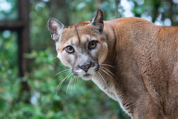 cat, animal, cougar, lion, puma, feline, wildlife, wild, predator, mammal, nature, lioness, mountain lion, panther, carnivore, fur, big, portrait, zoo, eyes, puma concolor, face, lynx, hunter