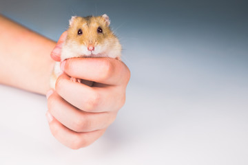 A cute little hamster is held in its owner's hands. The hamster looks directly into the camera.
