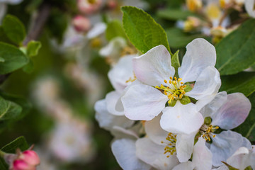 Fresh white and pink apple tree flowers blossom on green leaves background in the garden in spring.