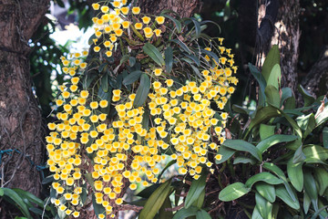 Acrylic Prints Roe Fresh yellow orchid flowers or dendrobium lindleyi steud blooming in garden