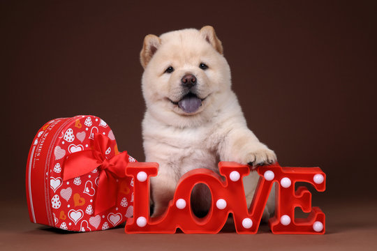 Cute chow chow puppy with a gift box and the word love