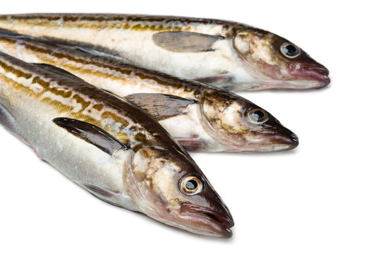 Freshly caught alaska pollock fish