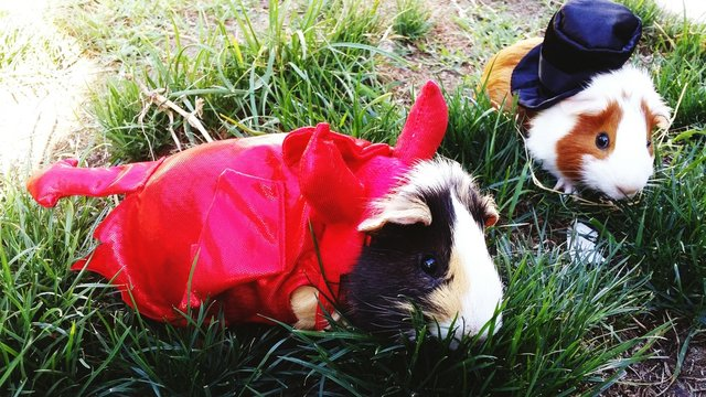Guinea Pigs Dressed-up In Silly Costumes