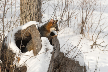 Fototapete - Grey Fox (Urocyon cinereoargenteus) Looks Out From Within Log Winter