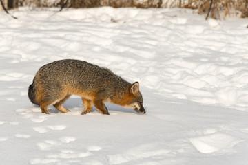 Wall Mural - Grey Fox (Urocyon cinereoargenteus) Sniffs Through Snow to Right Winter