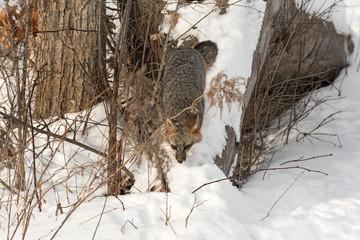 Wall Mural - Grey Fox (Urocyon cinereoargenteus) Walks Down Snowy Log Winter