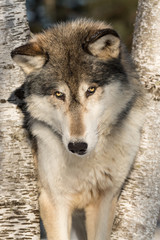Fototapete - Grey Wolf (Canis lupus) Looks Up Between Trees Winter