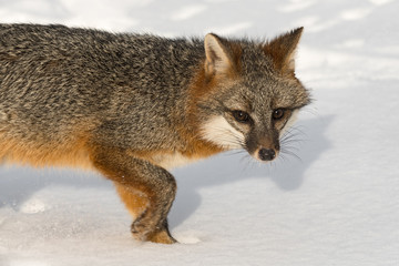 Fototapete - Grey Fox (Urocyon cinereoargenteus) Turns in Snow Close Up Winter