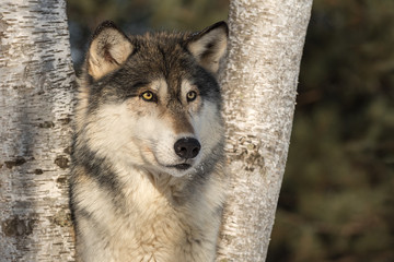Fototapete - Grey Wolf (Canis lupus) Stares Out From Between Birch Trees Winter