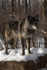 Fototapete - Black Phase Grey Wolf (Canis lupus) Standing Atop Snow Covered Rock Winter
