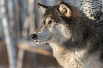 Fototapete - Grey Wolf (Canis lupus) Stares Left Profile Winter