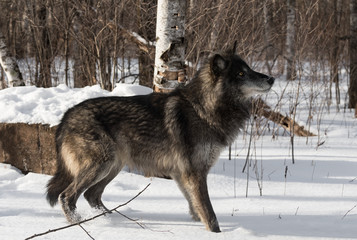 Fototapete - Black Phase Grey Wolf (Canis lupus) Quick Stock to Right in Snow Winter