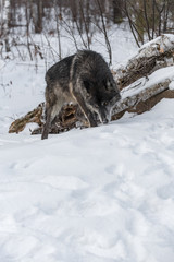 Fototapete - Black Phase Grey Wolf (Canis lupus) Sniffs Ground with Copy Space Winter